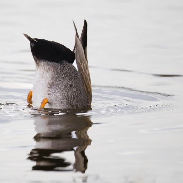 La chasse au gibier d'eau