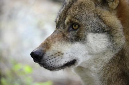 Nouvelle base de données pour les loups