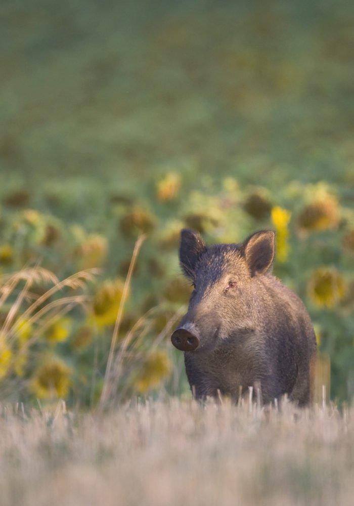 Sanglier: la chasse en battue est ouverte