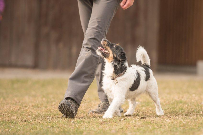 Comment dresser un jeune chien?