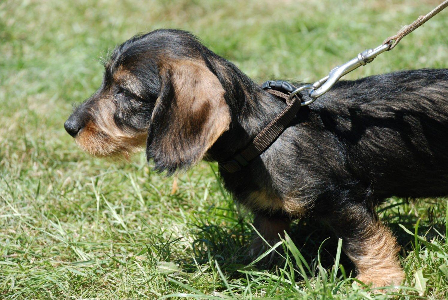 Comment bien choisir son chien de chasse?