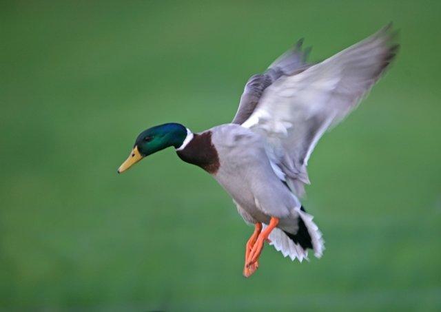 Gibier d'eau : conservez vos ailes pour un meilleur suivi