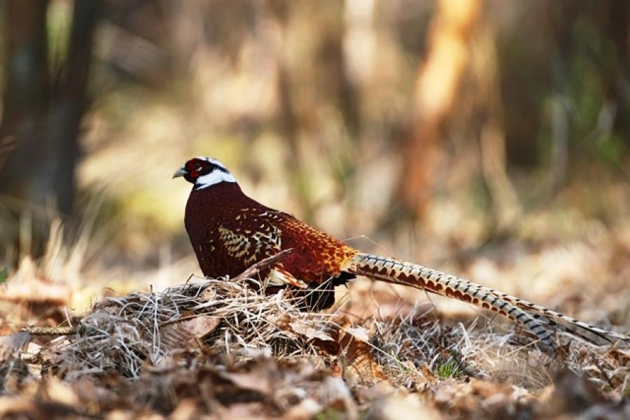 Grippe aviaire : du nouveau