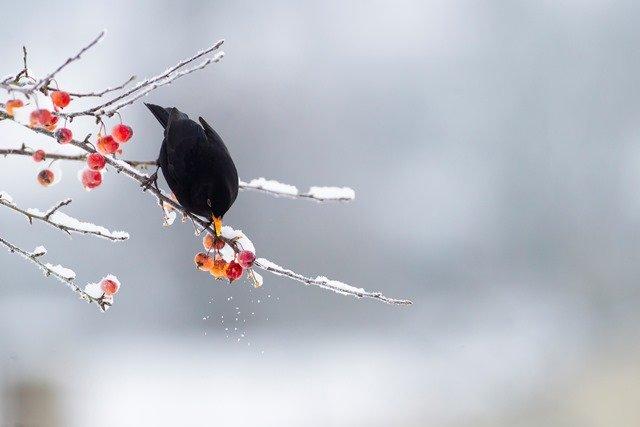 Vague de froid : fermeture de la chasse aux oiseaux de passage