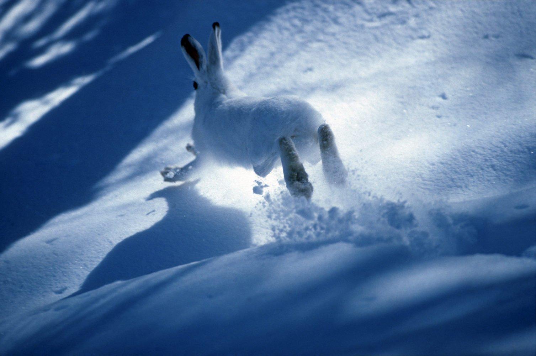 Les chasseurs agissent pour la régulation et le sauvegarde du petit gibier de montagne