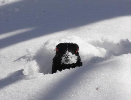 Tétras-lyre : sa conservation est liée à la gestion de ses habitats d'hivernage et de reproduction