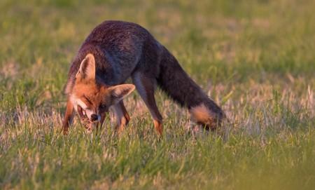 Étude échinococcose : 80 renards encore en attente