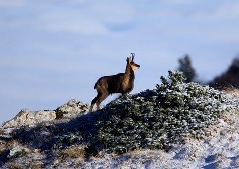 Résultats du comptage chamois au massif du Rissiou (Vaujany)