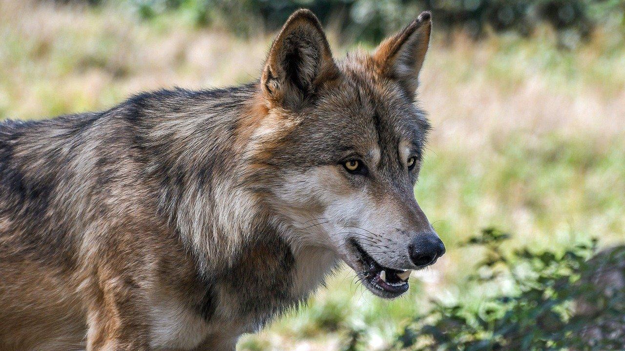 Entre Chien et Loup: la FNC demande des réponses précises sur l'hybridation des loups