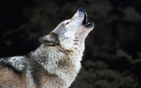 Formation loup : une nouvelle date