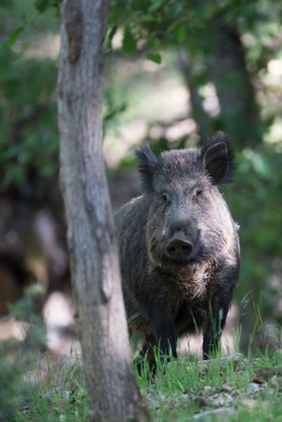 La chasse anticipée au 1er juin: une nouveauté qui n'en est pas une!
