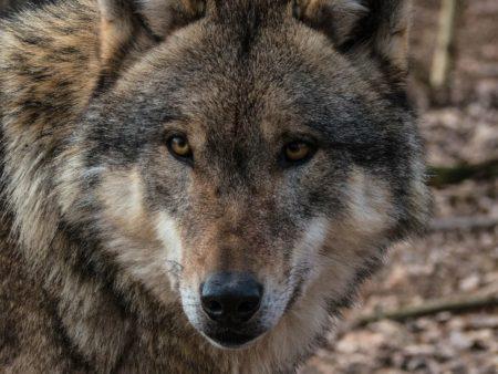 L'ONCFS confirme la présence de 430 loups en France