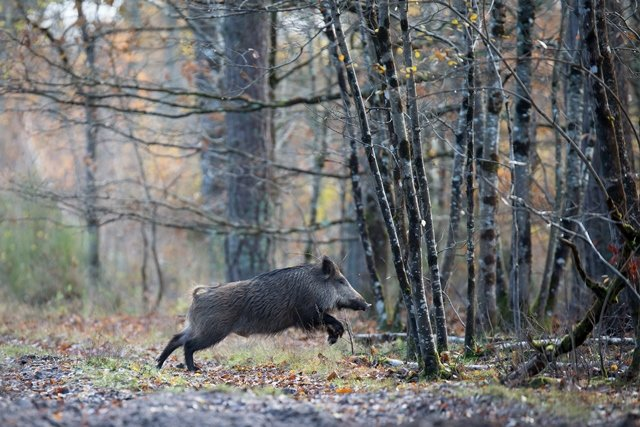 Les chasseurs mobilisés contre la peste porcine africaine