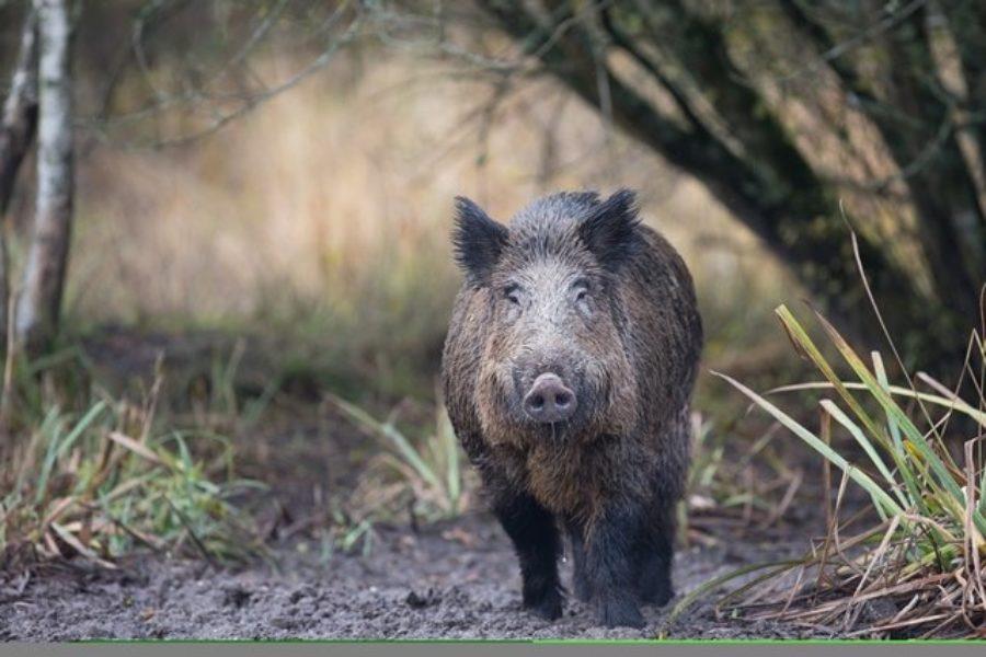 Point sur la situation de la peste porcine africaine