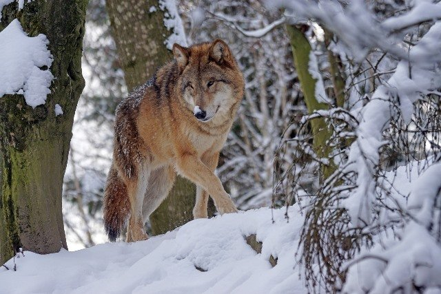 Formation Loup