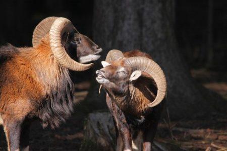 Les parades nuptiales  chez les animaux