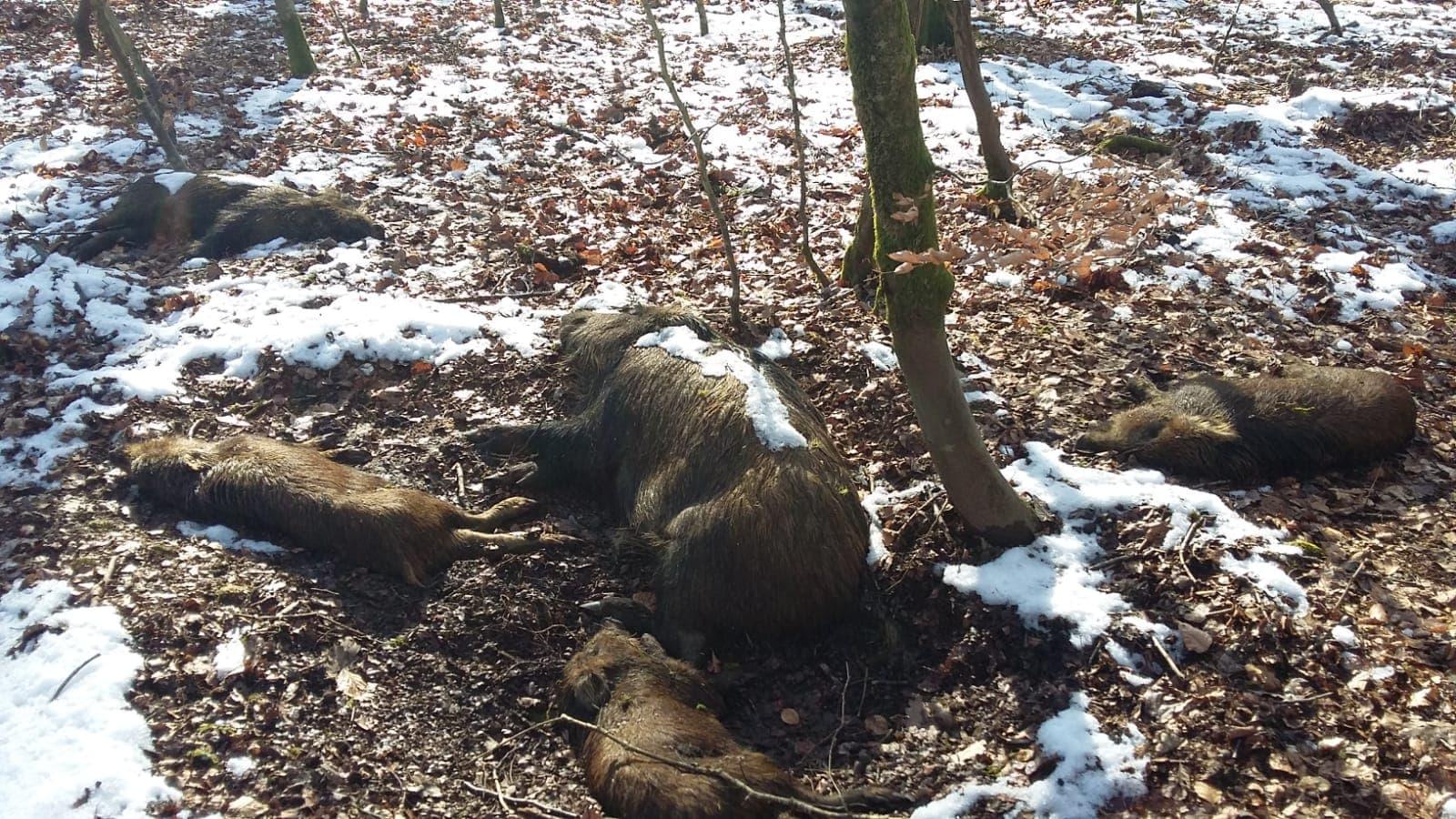 La Peste Porcine Africaine