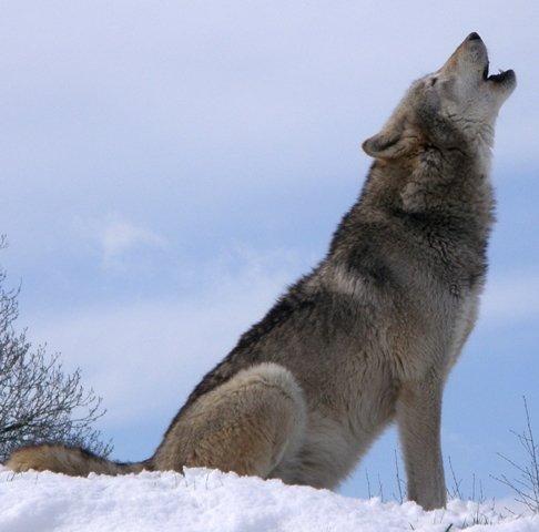 Consultation publique sur le Loup