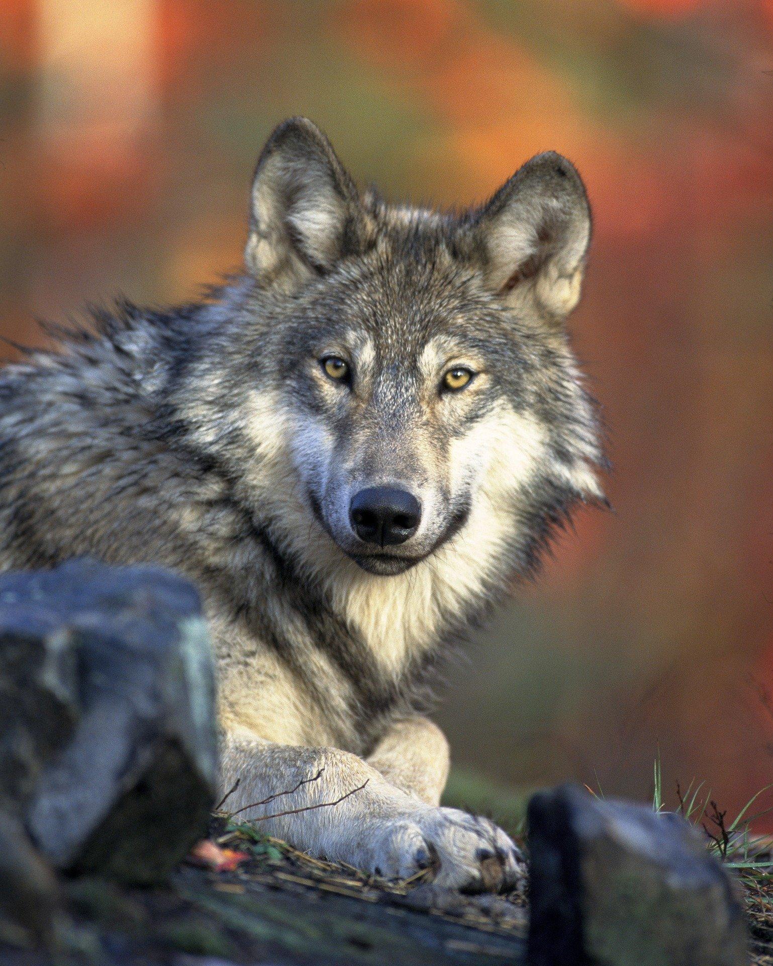 Bilan hivernal de la population de Loup : le seuil des 500 loups est atteint