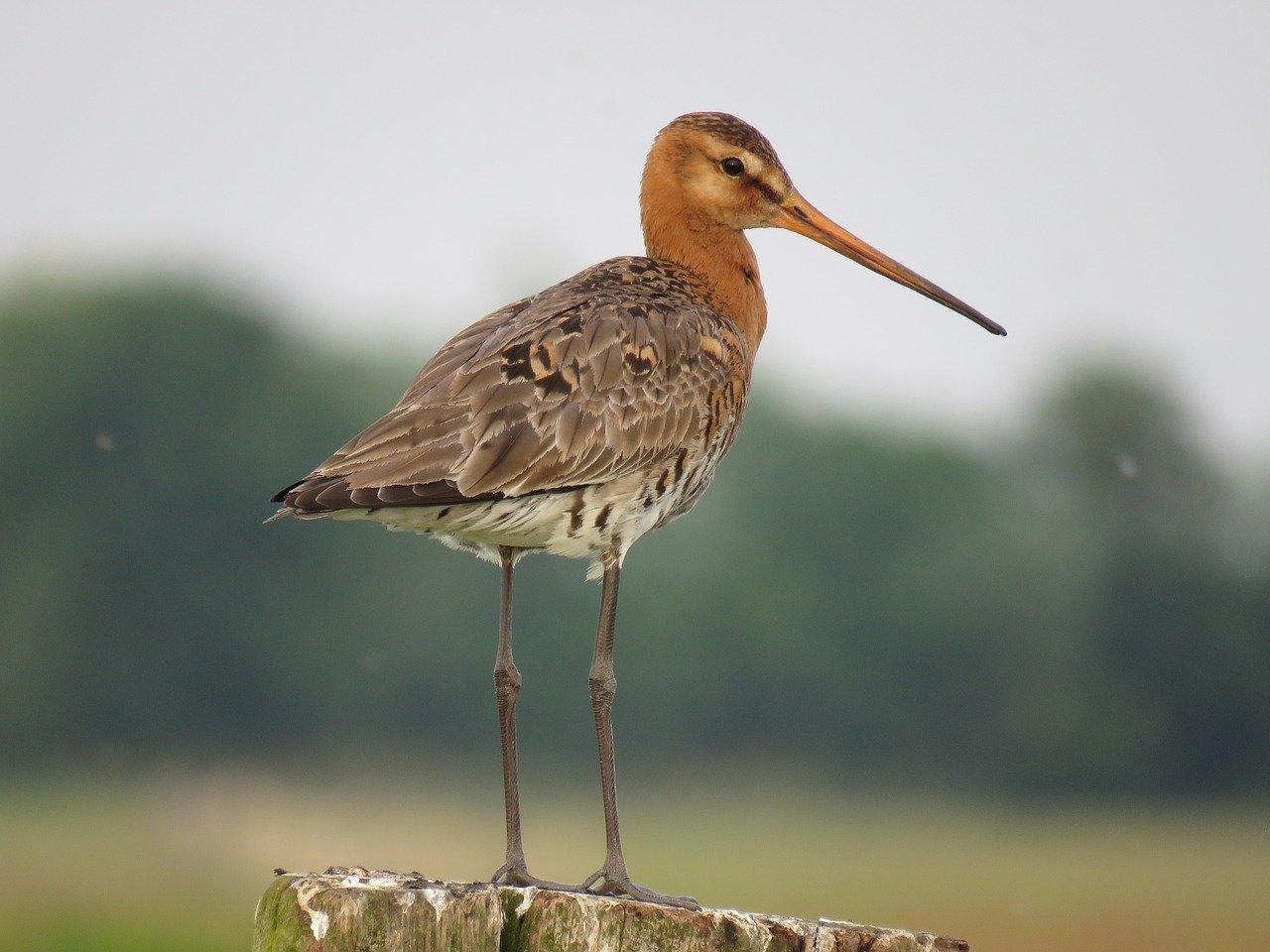Bientôt l'ouverture de la chasse des oiseaux de passage et du gibier d'eau