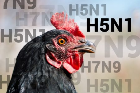 Alerte influenza aviaire